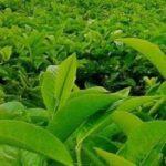 teh-hijau.jpg